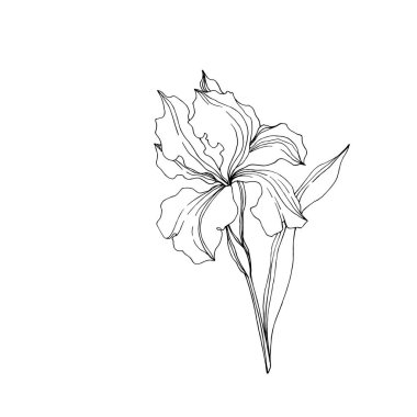 Vector Iris floral botanical flowers. Wild spring leaf wildflower isolated. Black and white engraved ink art. Isolated irises illustration element jn white background. stock vector