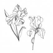 Vektor Iris virágos botanikai virágok. Fekete-fehér vésett tinta Art. Izolált iszek illusztráció elem.