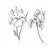 Květinové botanické květy. Černé a bílé ryté inkoustem. Izolovaný prvek – izolovaná kosatce.