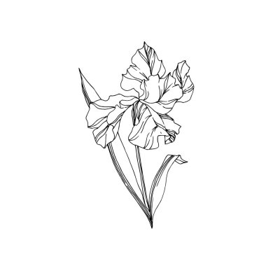 Vector Iris floral botanical flowers. Wild spring leaf wildflower isolated. Black and white engraved ink art. Isolated irises illustration element on white background. clip art vector
