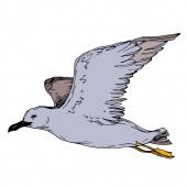 Vector Sky madár sirály egy vadon élő állatok elszigetelt. Fekete-fehér vésett tinta Art. Egy elszigetelt sirály-illusztrációs elem.