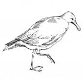 Nebeský pták Racek v divoké přírodě. Černé a bílé ryté inkoustem. Izolovaný rodokl.