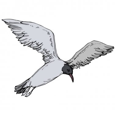 Sky bird seagull in a wildlife. Black and white engraved ink art. Isolated gull illustration element.