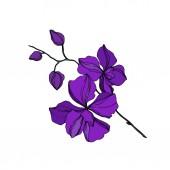Vector orchidea virágos botanikus virágok. Fekete és lila vésett tinta művészet. Izolált orchideák illusztrációs elem.