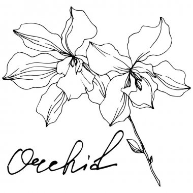 Vector Orchid floral botanical flowers. Wild spring leaf wildflower isolated. Black and white engraved ink art. Isolated orchids illustration element on white background. clip art vector