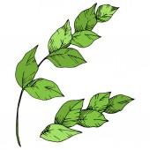 Vektorpalme Strandbaum Blätter Dschungel botanischen. Schwarz-weiß gestochene Tuschekunst. isoliertes Blattillustrationselement.