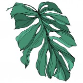 Vector Palm beach tree leaves jungle botanical. Black and white engraved ink art. Isolated leaf illustration element.