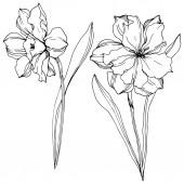 Vektor Narcissus virágos botanikai virágok. Fekete-fehér vésett tinta Art. Izolált nárcisz illusztrációs elem.