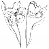 Photo Vector Narcissus floral botanical flowers. Black and white engraved ink art. Isolated narcissus illustration element.