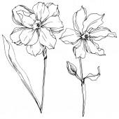 Květinové botanické květiny Vector Narcissus. Černé a bílé ryté inkoustem. Izolovaný obrázek narcisu.