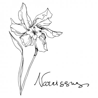 Vector Narcissus floral botanical flowers. Wild spring leaf wildflower isolated. Black and white engraved ink art. Isolated narcissus illustration element on white background. stock vector