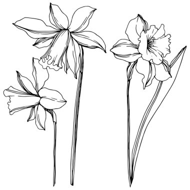 Vector Narcissus floral botanical flowers. Wild spring leaf wildflower isolated. Black and white engraved ink art. Isolated narcissus illustration element on white background. clip art vector