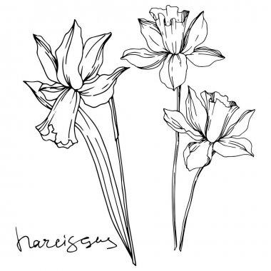 Vektör Narcissus çiçek botanik çiçekler. Siyah ve beyaz oyulmuş mürekkep sanatı. İzole narcissus illüstrasyon elemanı.