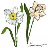 Fényképek Vektor Narcissus virágos botanikus virág. Fekete-fehér vésett tinta Art. Izolált nárcisz illusztrációs elem.