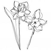 Vektor Narzisse florale botanische Blume. Schwarz-weiß gestochene Tuschekunst. Einzelnes Narziss-Illustrationselement.