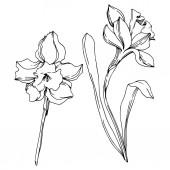 Vector Narcissus floral botanical flower. Black and white engraved ink art. Isolated narcissus illustration element.