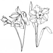 Vektor Narcissus virágos botanikus virág. Fekete-fehér vésett tinta Art. Izolált nárcisz illusztrációs elem.