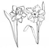Fotografie Květinové botanické květiny Vector Narcissus. Černé a bílé ryté inkoustem. Izolovaný obrázek narcisu.