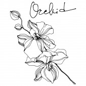 Orchid floral botanical flowers. Black and white engraved ink art. Isolated orchids illustration element.