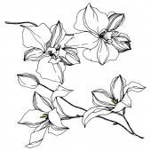 Vektorové orchideje květinové botanické květiny. Černé a bílé ryté inkoustem. Izolované orchideje, ilustrace.