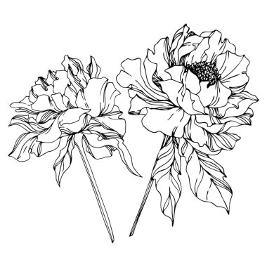 Peony floral botanical flowers. Wild spring leaf wildflower isolated. Black and white engraved ink art. Isolated peonies illustration element on white background. clip art vector
