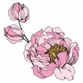 Pfingstrose blühende botanische Blumen. Schwarz-weiß gestochene Tuschekunst. vereinzelte Pfingstrosen Illustrationselement.