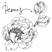 Bazsarózsa virágos botanikus virágok. Fekete-fehér vésett tinta Art. Pünkösdi rózsa elszigetelt illusztráció elem.