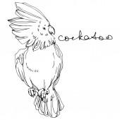 Vektor Sky madár kakadu a vadon élő állatok. Fekete-fehér vésett tinta Art. A papagáj egy különálló illusztrációs eleme.