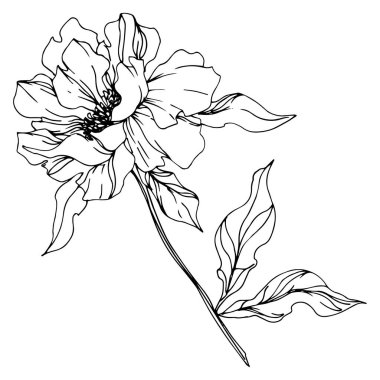 Peony floral botanical flowers. Wild spring leaf wildflower isolated. Black and white engraved ink art. Isolated peonies illustration element on white background. stock vector