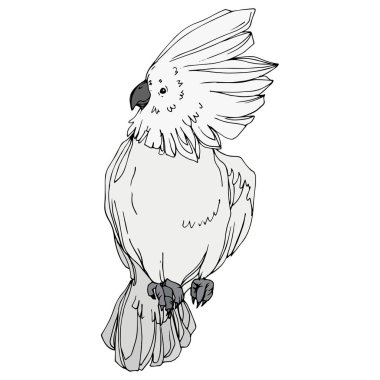Vector Sky bird cockatoo in a wildlife. Black and white engraved ink art. Isolated parrot illustration element.