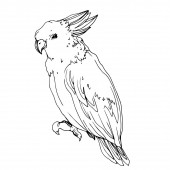 Vector Sky bird cockatoo in a wildlife isolated. Black and white engraved ink art. Isolated parrot illustration element.