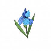Fényképek Vektor Iris virágos botanikai virágok. Fekete-fehér vésett tinta Art. Izolált iszek illusztráció elem.