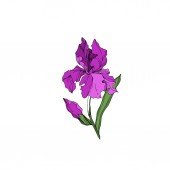 Vector Iris floral botanical flowers. Black and white engraved ink art. Isolated irises illustration element.