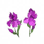 Vektor-Iris florale botanische Blumen. Schwarz-weiß gestochene Tuschekunst. isolierte Iris Illustrationselement.