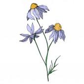 Vektor Wildflowers květinové botanické květiny. Černobílý rytý inkoust. Izolovaný prvek ilustrace květin.