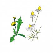 Vektor Vadvirágok virágos botanikai virágok. Fekete-fehér vésett tinta művészet. Izolált virág illusztrációs elem.