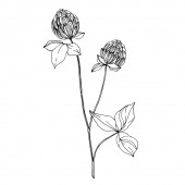 Vektorové květinové květinové botanické květiny. Černobílý rytý inkoust. Izolovaný prvek ilustrace divokých květin.