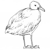 Vector Sky bird seagull in a wildlife isolated. Black and white engraved ink art. Isolated seagull illustration element.