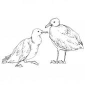 Vektorový ptačí pták v odlehlé přírodě. Černé a bílé ryté inkoustem. Izolovaný prvek izolovaného seagullu.