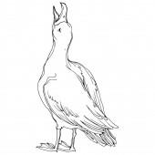 Fényképek Vektor Sky madár sirály a vadon élő állatok. Fekete-fehér vésett tinta Art. Egy elszigetelt sirály-illusztrációs elem.