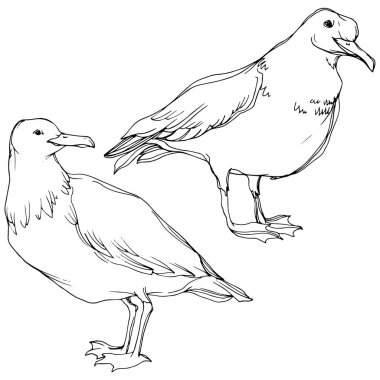 Vector Sky bird seagull in a wildlife. Black and white engraved ink art. Isolated seagull illustration element.