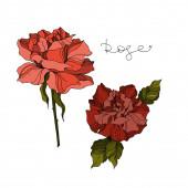 Vektorrose florale botanische Blumen. Schwarz-weiß gestochene Tuschekunst. vereinzelte Rosen Illustrationselement.