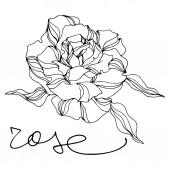 Vektor Rose virágos botanikai virágok. Vésett tintaművészet. Izolált rózsa illusztrációs elem.