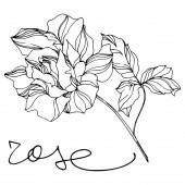 Květinové botanické květiny Vector Rose. Ryté inkoustem. Izolovaný prvek ilustrace růží.
