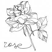 Vector Rose floral botanical flowers. Engraved ink art. Isolated roses illustration element.