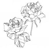 Vektorrose florale botanische Blumen. Tuschebilder. vereinzelte Rosen Illustrationselement.