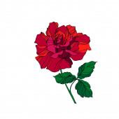 Vektorrosen florale botanische Blume. rote und grüne Gravurtintenkunst. Isolierte Rose als Illustrationselement.
