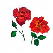 Květinové botanické květiny Vector Rose. Červený a zelený rytý inkoust. Izolovaný prvek ilustrace růží.