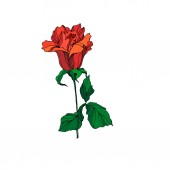 Vector Rose floral botanical flower. Red and green engraved ink art. Isolated rose illustration element.