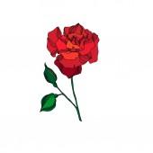 Květinová botanická květina Vector Rose. Červený a zelený rytý inkoust. Izolovaný prvek ilustrace růží.